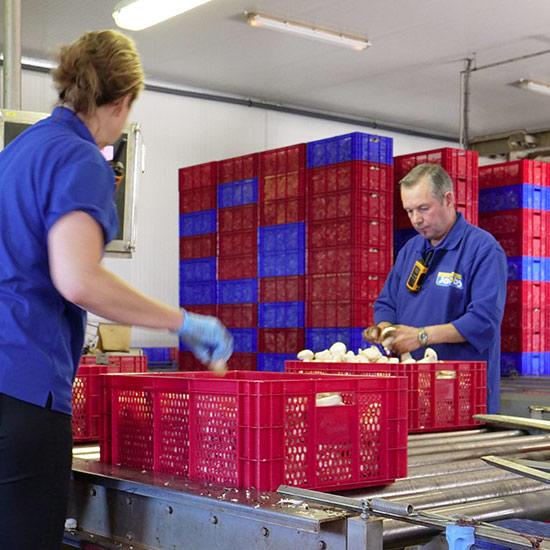Het product van champignonkwekerij Jacobs is de witte champignon